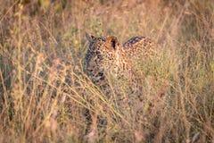 掩藏在草的豹子 免版税图库摄影