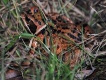 掩藏在草的青蛙 免版税库存照片