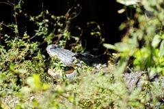 掩藏在草的鳄鱼 免版税库存图片