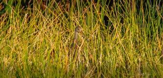 掩藏在草的Limpkin在佛罗里达,美国 库存图片