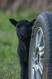 掩藏在轮子后的黑羊羔 免版税库存图片