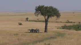 掩藏在金合欢树的阴影的斑马牧群在非洲大草原的 股票视频