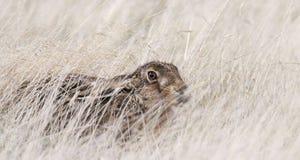 掩藏在长的草的狂放的野兔 类天兔座 库存照片