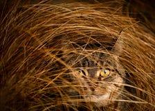 掩藏在长的草的虎斑猫 免版税库存图片