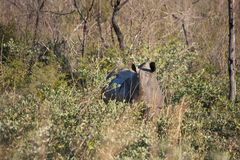 掩藏在非洲灌木的犀牛 免版税库存照片