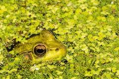 掩藏在鸭子杂草的池蛙 库存照片