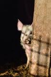 掩藏在阴影的小的肮脏的好奇小猪 库存图片