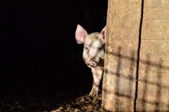 掩藏在阴影的小的肮脏的好奇小猪 库存照片
