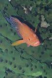 掩藏在黑珊瑚的罕见的彩虹石斑鱼Padre布尔戈斯,雷伊泰,菲律宾 库存照片