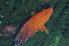掩藏在黑珊瑚的罕见的彩虹石斑鱼Padre布尔戈斯,雷伊泰,菲律宾 免版税库存图片