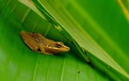 掩藏在绿色香蕉的一只小的棕色青蛙 免版税库存图片