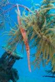 掩藏在Gorgonians的喇叭鱼 免版税库存照片