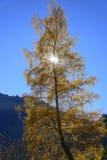 掩藏太阳的桦树 免版税图库摄影