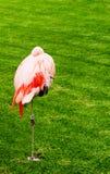 掩藏它的在草中的滑稽的火鸟头 免版税库存照片