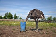 掩藏它的头的非洲驼鸟在沙子 免版税库存图片