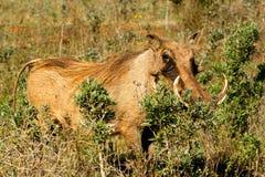 掩藏我-非洲野猪属africanus共同的warthog 免版税库存照片