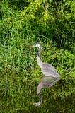 掩藏沿海岸线的蓝色苍鹭 免版税库存照片