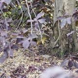 掩藏由与叶子围拢的树的灰鼠 库存图片