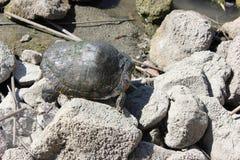 掩藏的乌龟 库存图片