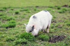 掩藏的猪 库存照片