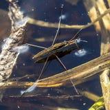 水措施池塘(拉特 gerris lacustris) 免版税库存照片