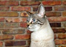描出一只棕褐色和黑虎斑猫的画象与蓝眼睛的 库存图片