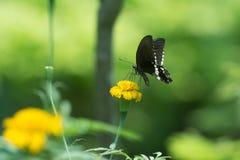 描出观点的在花的一只美丽的蝴蝶 库存照片