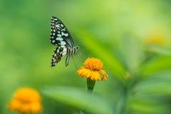 描出观点的在花的一只美丽的蝴蝶 免版税图库摄影