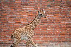 描出长颈鹿小牛画象在砖墙的 图库摄影
