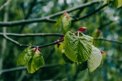 描述坚果树早午餐的一个宏观春天视图的照片与 免版税库存图片