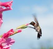 提供在一朵桃红色剑兰花的蜂鸟 免版税库存照片