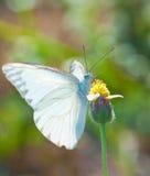 提供在一朵黄色花的空白蝴蝶 免版税库存图片