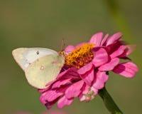 提供在桃红色百日菊属的被覆盖的白蝴蝶 免版税图库摄影