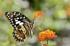 提供在花的石灰蝴蝶 免版税库存图片