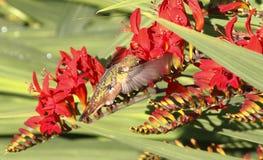 提供在花的蜂鸟 图库摄影