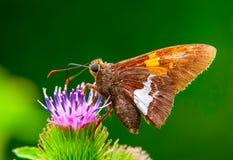 提供在花的蝴蝶宏观射击 库存图片
