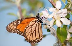 提供在苹果开花的黑脉金斑蝶 库存图片
