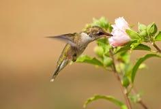 提供在蜀癸属植物的少年公蜂鸟 免版税库存照片
