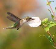 提供在蜀癸属植物花的幼小公蜂鸟 免版税图库摄影
