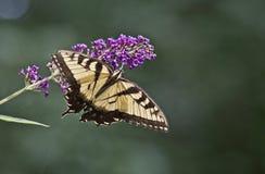 提供在蝴蝶灌木丛的小花的蝴蝶 图库摄影