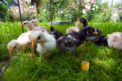 提供外部的小鸡小 免版税库存图片