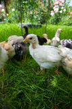 提供外部的小鸡小 免版税图库摄影