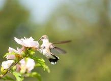 提供母蜂鸟微小的白色的蜀癸属植物 免版税库存图片