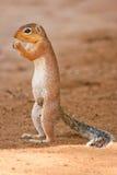 提供的地面keny孤立samburu灰鼠 库存照片