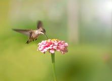 提供的女性蜂鸟粉红色微小的百日菊属 免版税图库摄影