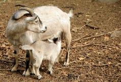 提供的山羊 免版税库存图片