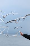 提供的海鸥 免版税库存图片