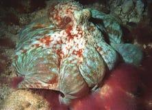 提供的章鱼 库存图片