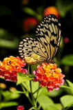 提供的结构树若虫蝴蝶 库存照片