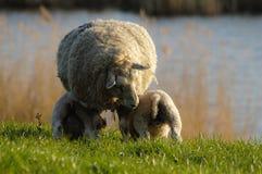 提供的羊羔 免版税图库摄影
